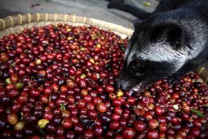 ジャコウネコとコーヒー豆