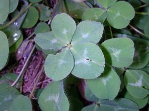 640px-Five_leaf_clover