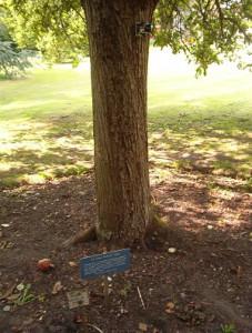 Newton's_tree,_Botanic_Gardens,_Cambridge