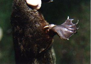 カモノハシ 爪