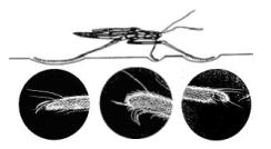 アメンボの足