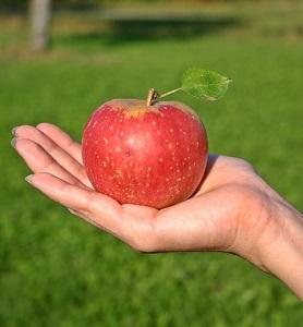 りんご もぎたて