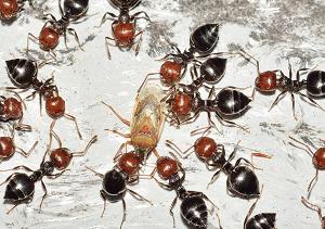 虫を食べるアリ