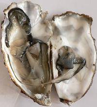牡蠣の中身
