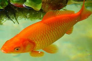 大きい金魚