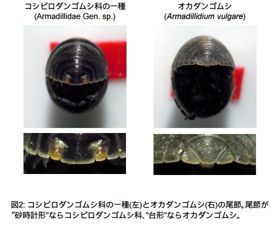 コシヒロダンゴムシとオカダンゴムシの違い