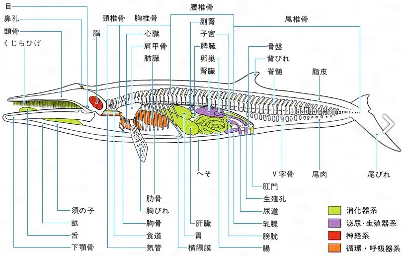 クジラ解剖図