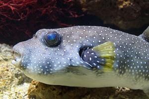 puffer-fish-486108_640