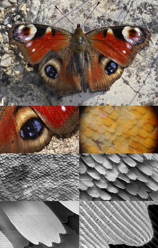 チョウチョ羽根の拡大