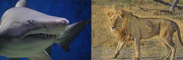 サメ ライオン