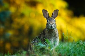 ウサギ 耳を立てる